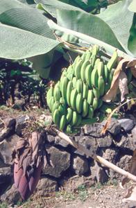Wirtschaft, Bananenpflanze auf El Hierro