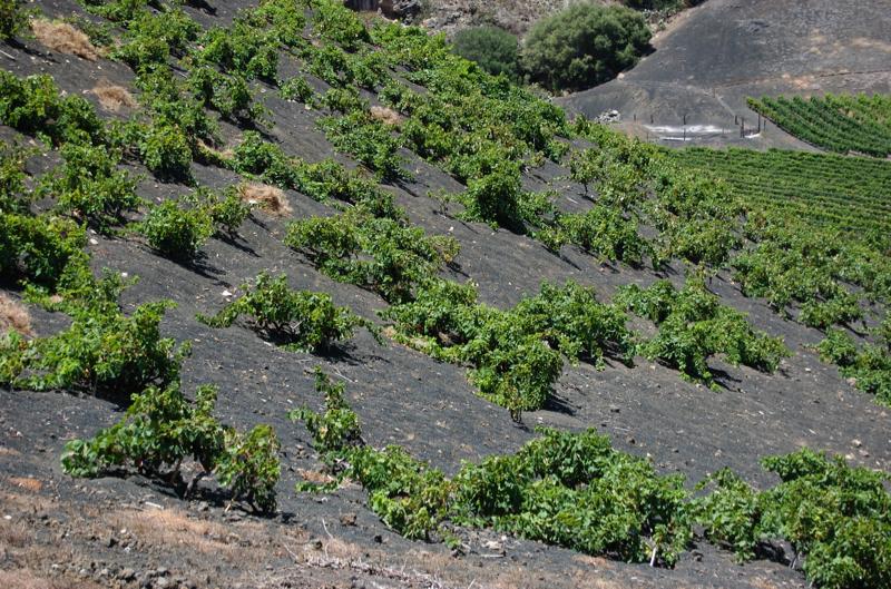 Weinfelder auf Teneriffa