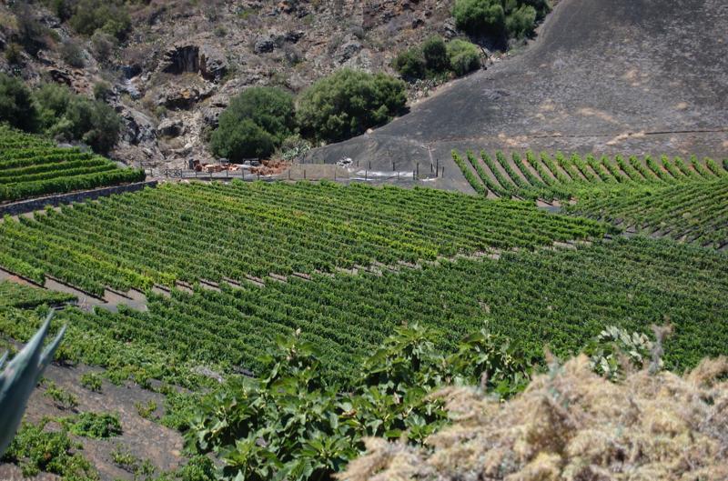 Weinfelder auf Gran Canaria
