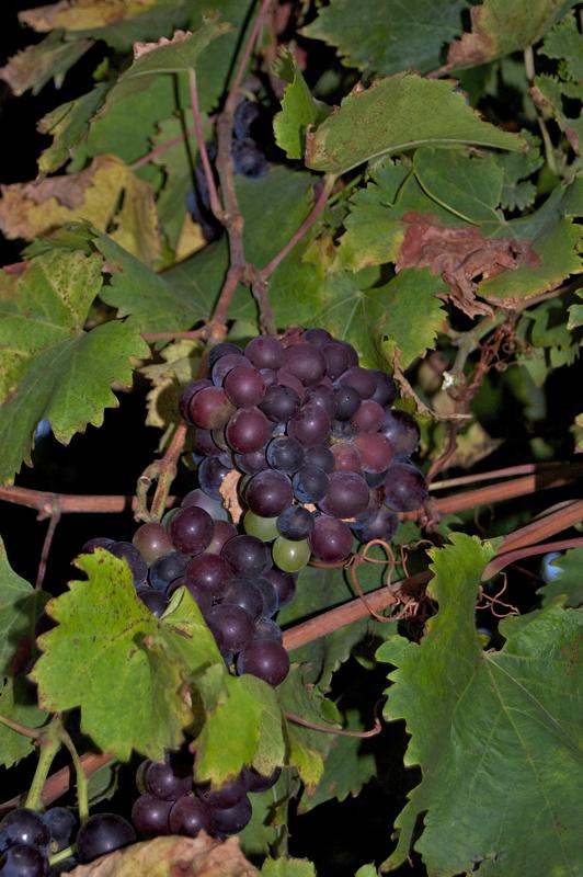 Weintrauben Kanaren