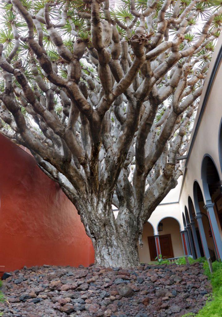 Ältester Drachenbaum von Gran Canaria im Innenhof der Gemeinde von Galdar.