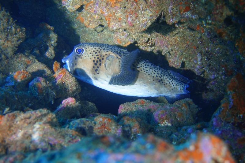 Igelfisch beim Tauchen auf den Kanarischen Inseln