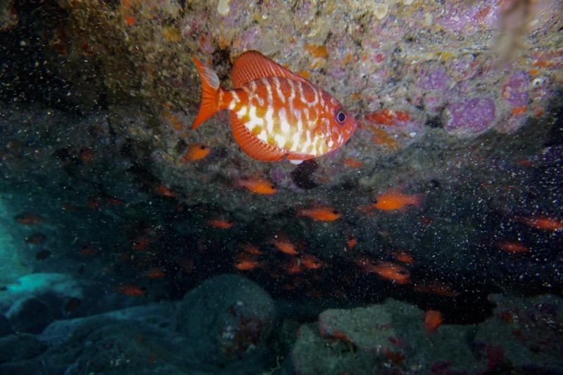 Oranger Fisch in einer Höhle beim Tauchen auf Lanzarote